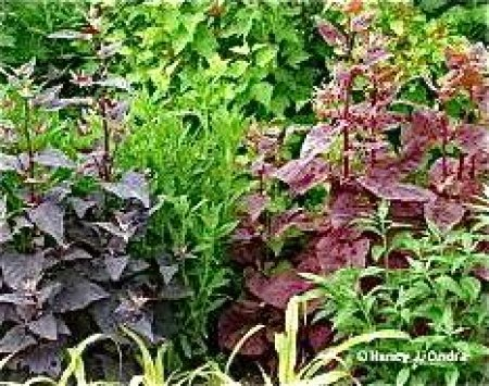 Aurora Orach Mix/Tricolor, ekofrö